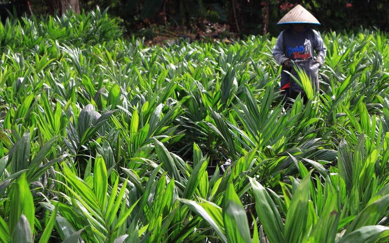 Pekerja tengah melakukan perawatan bibit kelapa sawit bersertifikat di tempat Bibit Tanaman Perkebunan CV Multi Maju yang berada di Lubuk Minturun, Kota Padang, Sumatra Barat, Kamis (25/2/2021). - Bisnis/Noli Hendra