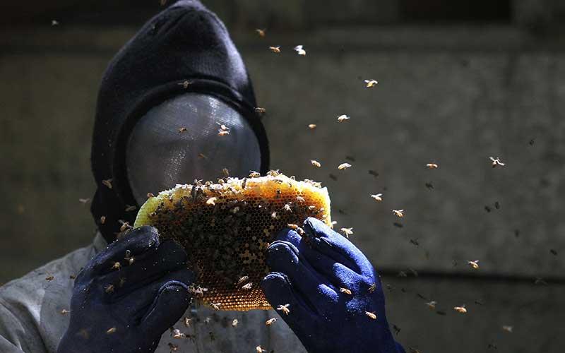 Petani memanen sari madu dari lebah Apis indica di Desa Landono 2, Kecamatan Landono, Konawe Selatan, Sulawesi Tenggara. Antara Foto - Jojon