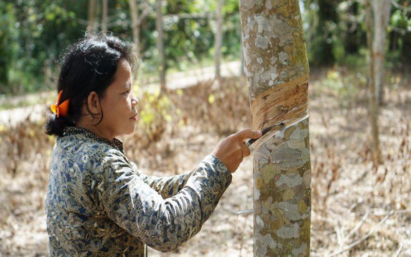 Sri Kurniati, petani karet di Desa Cipta Praja, Kecamatan Keluang, Kabupaten Musi Banyuasin sedang menyadap karet di kebun seluas 0,5 hektare. JIBI -  Bisnis/Tim Jelajah.