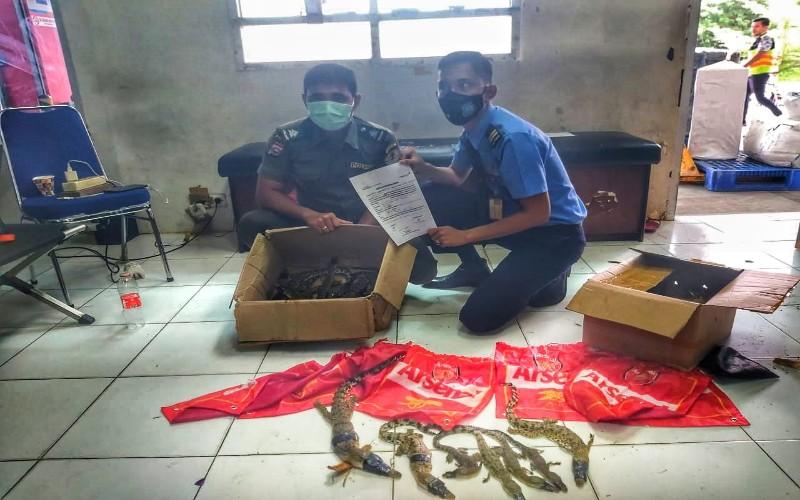 Petugas Avsec Pekanbaru menunjukkan barang bukti paket berisikan anak muara buaya.  - Istimewa