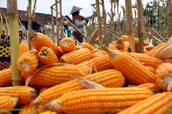 Petani memanen tanaman jagung. - Antara