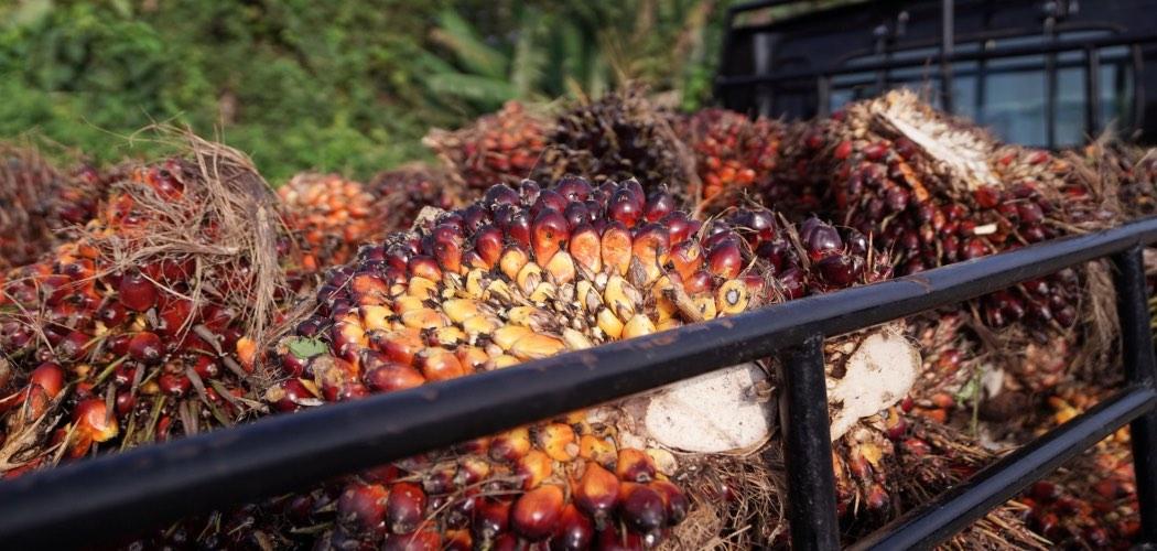 Kelapa sawit ditumpuk di atas sebuah truk di Penajam, Kalimantan Timur, Rabu (27/11/2019). - Bloomberg/Dimas Ardian