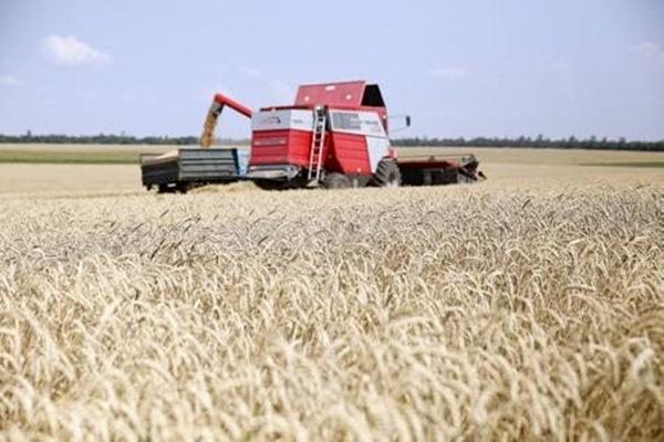 Ilustrasi ladang gandum - JIBI