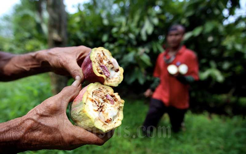 Buruh memperlihatkan perbandingan kualitas biji kakao yang buruk dan baik di perkebunan kakao Pasir Ucing, Cipeundeuy, Kabupaten Bandung Barat, Jawa Barat, Senin (1/2/2021). Bisnis - Rachman