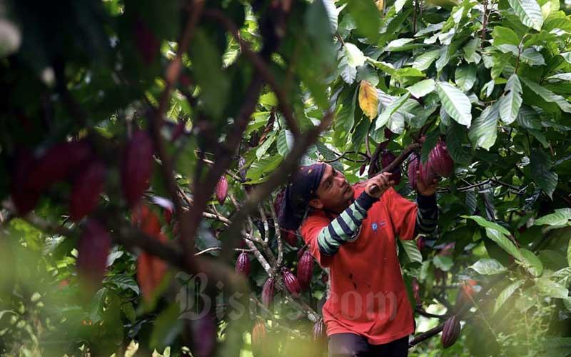 Buruh memetik kakao di perkebunan kakao Pasir Ucing, Cipeundeuy, Kabupaten Bandung Barat, Jawa Barat, Senin (1/2/2021). Bisnis - Rachman