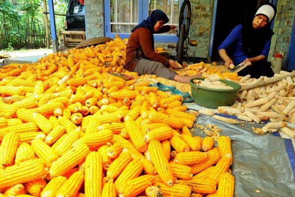 Petani merontokkan jagung untuk bahan baku pakan ternak di daerah Wanaraja Kabupaten Garut, Jawa Barat. - JIBI/Rachman