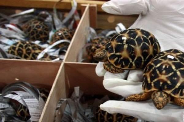 Penyelundupan kura-kura - Antara