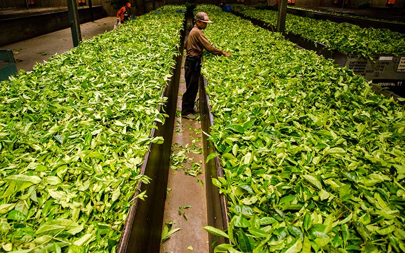 Ilustrasi pengolahan daun teh. ANTARA FOTO - Novrian Arbi
