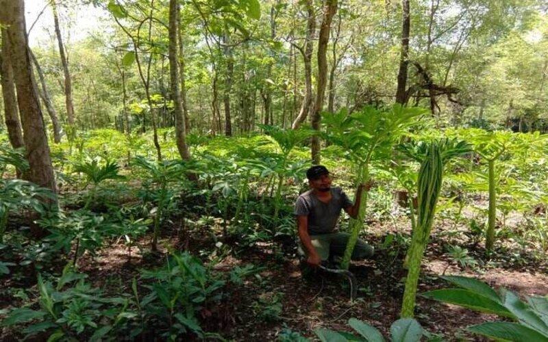 Ketua Lembaga Masyarakat Desa Hutan (LMDH) Desa Pajaran, Wisdianto, 41, menunjukkan tanaman porang yang ditanam di kawasan hutan di desanya. - Istimewa