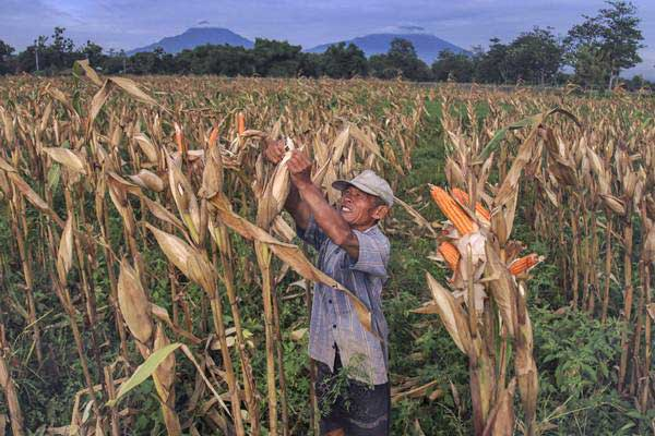 Petani memanen jagung saat panen di Colomadu, Karanganyar, Jawa Tengah, Rabu (13/12). - ANTARA/Maulana Surya
