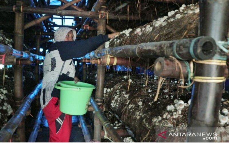 Foto dok. Salah seorang petani memanen jamur merang di Desa/Kecamatan Sumbersuko, Kabupaten Lumajang. - Diskominfo Lumajang