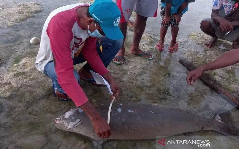 Petugas mengukur dugong yang terdampar dan mati di pesisir pantai di Kabupaten Sabu Raijua. - Antara/BKKPN.