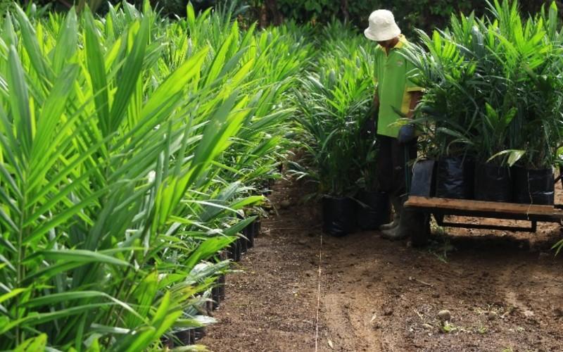 Para pekerja tengah melakukan perawatan bibit kelapa sawit bersertifikat di tempat Bibit Tanaman Perkebunan CV Multi Maju yang berada di Lubuk Minturun, Kota Padang, Sumatra Barat.  - Bisnis/Noli Hendra