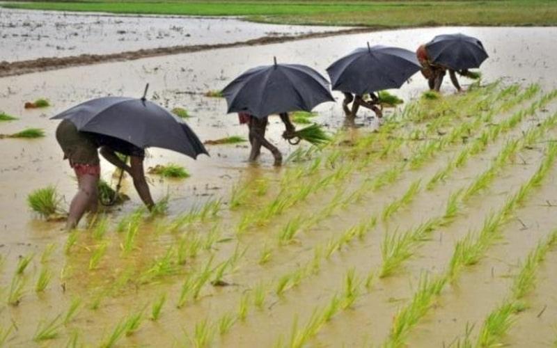Pekerja sedang menanam padi di wilayah Bhubaneswar, Thailand (19/7/2014). - Reuters/Stringer