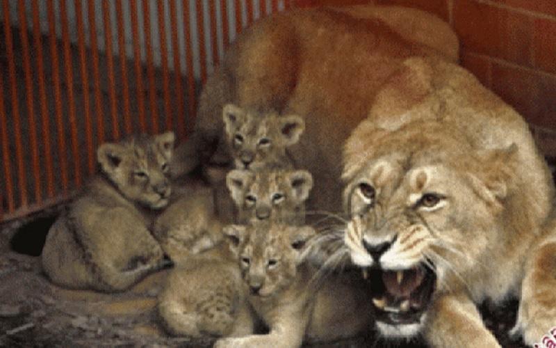Hewan singa. - Antara/Reuters