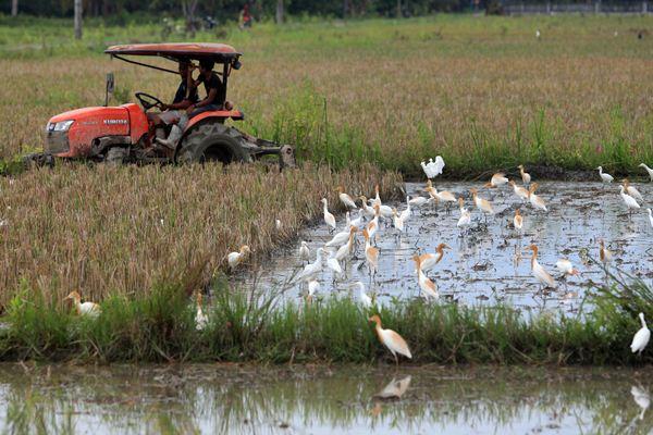 Ilustrasi - Petani membajak tanah menggunakan traktor di area persawahan Desa Putoh Sa, Kecamatan Pante Bidari, Aceh Timur, Aceh, Kamis (13/4). - Antara/Syifa Yulinnas