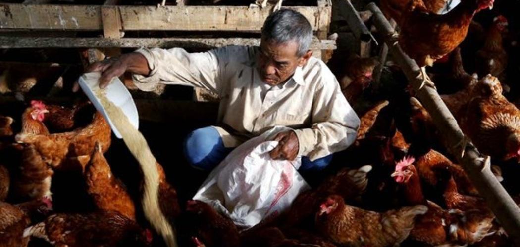 Pekerja memberikan pakan ternak. - JIBI/Nurul Hidayat