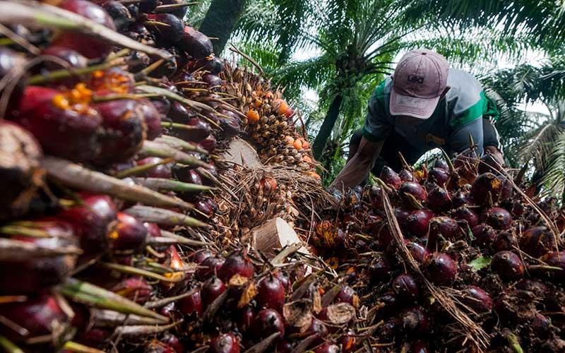 Pekerja memanen kelapa sawit di Desa Rangkasbitung Timur, Lebak, Banten, Selasa (22/9/2020). ANTARA FOTO - Muhammad Bagus Khoirunas