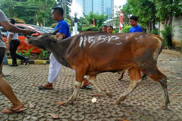 Ilustrasi sapi hewan kurban/Bisnis.com - Haffiyan.