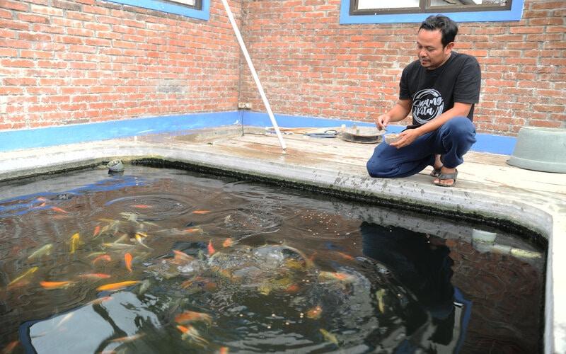 Peternak ikan Koi Untung Sugiarto (44) memberi pakan ikan Koi di kolam pembibitan Mina Papilon Kauman, Parakan, Temanggung, Jawa Tengah, Sabtu (29/5/2021). Menurut peternak ikan Koi masa pancaroba seperti saat ini menyebabkan fluktuasi suhu udara yang mengakibatkan ikan Koi strees hingga lebih dari 20 persen bibit ikan mati. - Antara/Anis Efizudin.