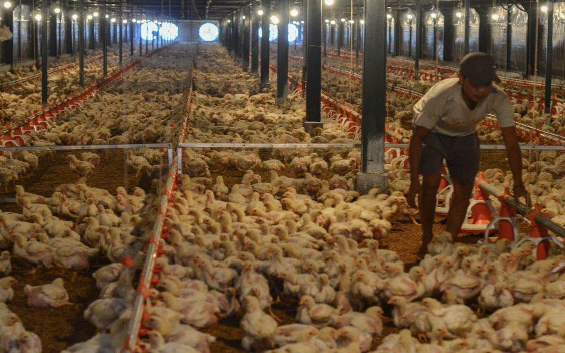 Pekerja memeriksa kondisi kandang dan ayam di peternakan ayam modern Naratas, Desa Jelat, Kabupaten Ciamis, Jawa Barat, Sabtu (11/4/2020).  - Antara