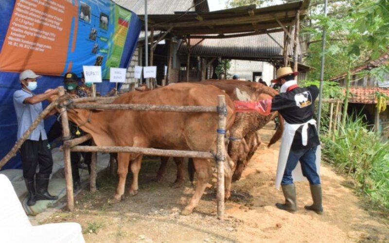 Salah satu jenis sapi Belgian Blue yang dikembangkan di Lamongan. - Dinas Peternakan Lamongan.