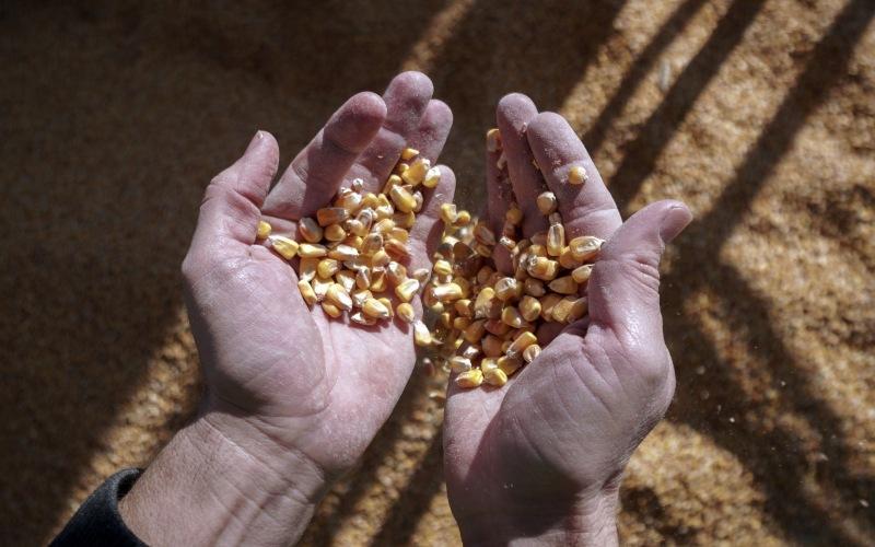 Harga jagung naik menyentuh level tertinggi dalam delapan tahun. (Bloomberg)