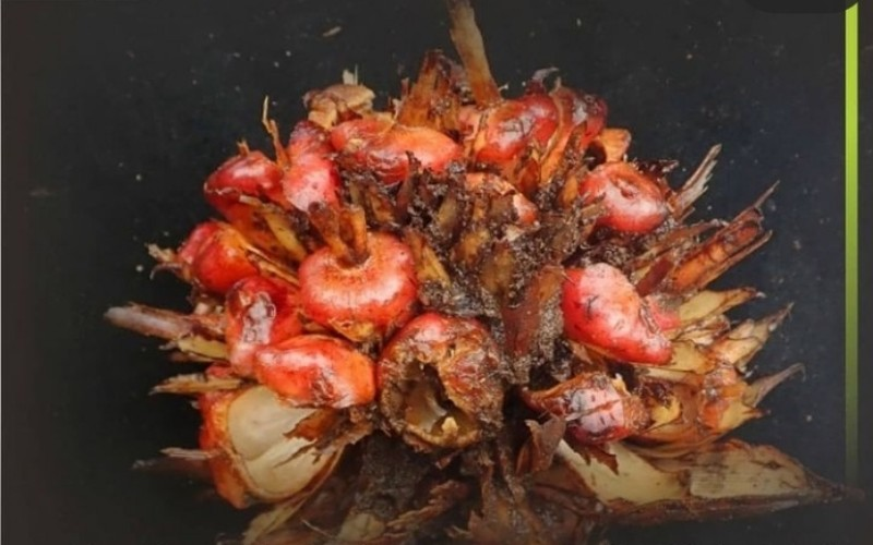 Salah satu jenis tumbuhan baru yang ditemukan LIPI pada 2020 - LIPI