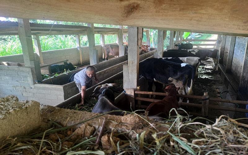 Peternak memberi pakan kepada sapi mereka di Desa Sidomulyo, Kecamatan Pagerwojo, Tulungagung, Jawa Timur, Selasa (8/6/2021). Sebanyak 26 ekor ternak sapi di daerah itu mati karena wabah antraks, dan mulai menular ke manusia. - Antara/Destyan Sujarwoko