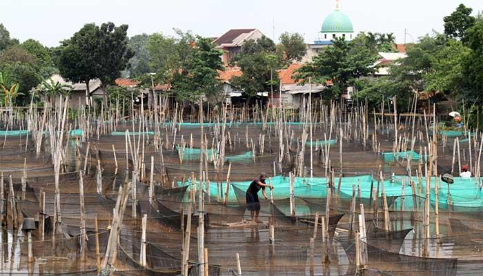 Peternak ikan hias air tawar melakukan perawatan di antara keramba di kawasan Ciseeng, Kabupaten Bogor, Jawa Barat, Selasa (21/1). Beragam ikan hias yang dibudidaya dengan sistem keramba ini dipasarkan ke sejumlah daerah di Jabodetabek dengan harga Rp2.500 hingga Rp30.000 per ekor tergantung jenisnya. Bisnis/Arief Hermawan P