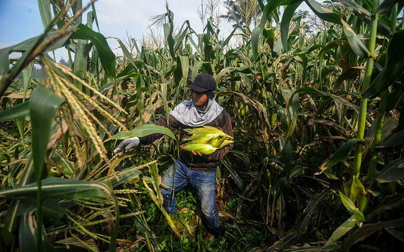 Buruh tani memanen jagung di Cilengkrang, Kabupaten Bandung, Jawa Barat, Kamis (26/3/2020). Petani menyatakan pada panen raya musim ini harga jagung di Bandung anjlok hingga 50 persen atau hanya Rp2.000 per kilogram akibat stok yang menumpuk di pasar karena minimnya pembeli. ANTARA FOTO/Raisan Al Farisi