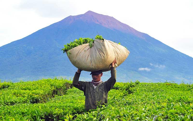 Pekerja mengangkut pucuk daun teh hasil panen di perkebunan PTPN VI Kayu Aro dengan latar belakang Gunung Kerinci, Jambi, Minggu (31/5/2020). Ketua Gugus Tugas Percepatan Penanganan COVID-19 pusat Doni Monardo mengatakan pemerintah memberikan kewenangan pada 102 kabupaten/kota yang berstatus zona hijau untuk melaksanakan kegiatan masyarakat produktif dan aman COVID-19, salah satunya Kabupaten Kerinci, Jambi. ANTARA FOTO/Wahdi Septiawan
