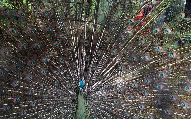 Seekor burung merak membentangkan sayapnya saat diberikan pakan oleh petugas di Solo Zoo atau Taman Satwa Taru Jurug (TSTJ) di Solo, Jawa Tengah, Senin (1/6/2020). Solo Zoo rencananya akan kembali dibuka untuk umum saat Kota Solo mulai memberlakukan normal baru dengan pembatasan pengunjung dan penerapan protokol kesehatan, guna pencegahan penularan virus COVID-19. ANTARAFOTO/Maulana Surya