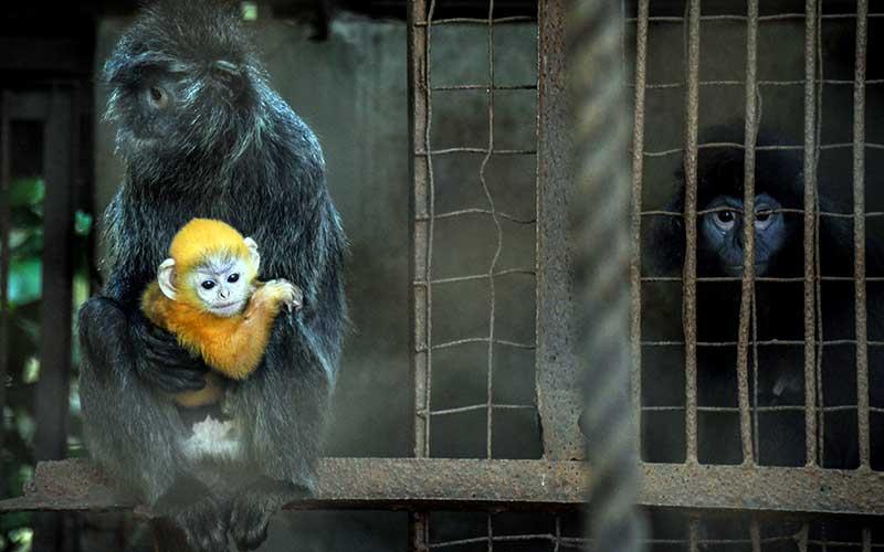 Seekor anak Lutung Jawa (Trachypitecus Auratus) berada dalam pelukan induknya di Bandung Zoo, Bandung, Jawa Barat, Selasa (2/6/2020). Bandung Zoo memiliki satu ekor tambahan koleksi primata dilindungi yang dilahirkan pada 3 Mei 2020 saat pandemi COVID-19 dan diberi nama Fitri. ANTARA FOTO/Raisan Al Farisi