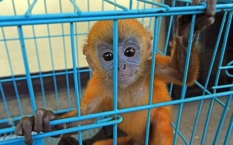 Anak lutung jawa (Trachypithecus auratus) diamankan petugas BKSDA (Balai Konservasi Sumber Daya Alam) Banten di Serang, Rabu (1/7/2020). Setelah melakukan pendekatan persuasif petugas BKSDA Banten mengamankan empat ekor hewan dilindungi yakni seekor anak lutung Jawa, dua ekor kukang Jawa, dan seekor burung kakatua dari pedagang yang menawarkan hewan tersebut secara online, dan selanjutnya hewan tersebut akan dikembalikan ke habitatnya. ANTARA FOTO/Asep Fathulrahman