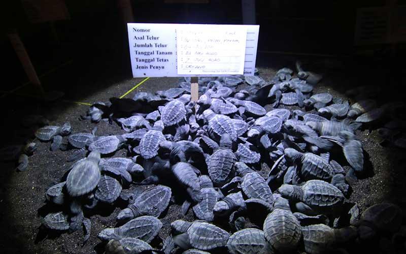 Tukik yang baru menetas berkumpul di penangkaran Banyuwangi Sea Turtle Foundation di Pantai Boom, Banyuwangi, Jawa Timur, Rabu (8/7/2020). Sebanyak 14 sarang telur penyu jenis lekang itu, berhasil ditetaskan secara semi alamiah. ANTARA FOTO/Budi Candra Setya