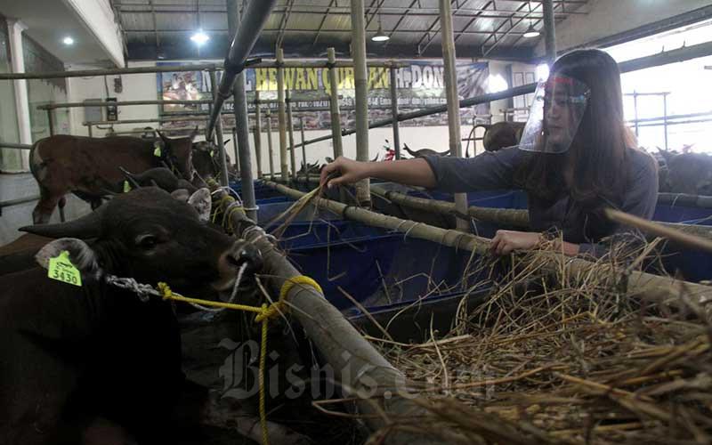 Sales Promotion Girl (SPG) memberikan pakan kepada sapi yang dijual di Mal Hewan Kurban Haji Doni, Kota Depok, Jawa Barat, Minggu (12/7/2020). Bisnis/Arief Hermawan P