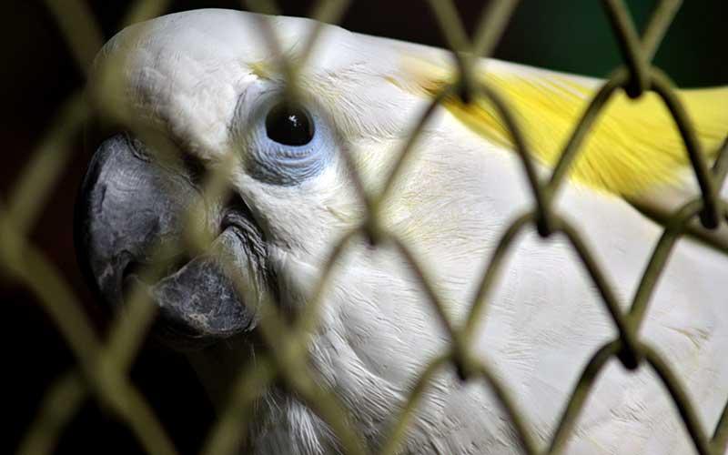 Burung Kakatua Kaki Putih (Sulphur Crested Cockatoo) berada di kandang penangkaran Pusat Penyelamatan Satwa (PPS) Tasikoki, Minahasa Utara, Sulawesi Utara, Kamis (30/7/2020). Sebanyak 91 individu satwa endemik Indonesia yang terdiri dari reptil, mamalia, dan aves yang diselundupkan ke Filipina telah dipulangkan kembali. ANTARA FOTO/Adwit B Pramono
