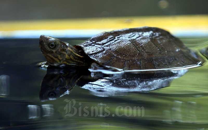 Kura-kura ceper (Cyclemys dentata) berada di dalam kandang di Bandung Zoological Garden (Bazoga), Bandung, Jawa Barat, Sabtu (1/8/2020). Bazoga memiliki dua ekor koleksi baru reptil jenis kura-kura ceper hasil dari penetasan pada 15 Mei 2020 lalu. Bisnis/Rachman