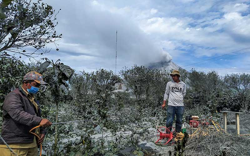 Petani membersihkan tanaman brokoli dan cabai rawit yang tertutup debu vulkanik pascaerupsi Gunung Sinabung di Desa Naman, Kecamatan Naman Teran, Karo, Sumatera Utara, Selasa (11/8/2020). ANTARA FOTO/Sastrawan Ginting