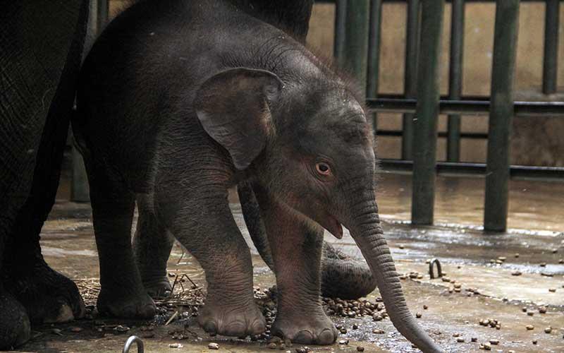 Seekor bayi gajah sumatera (Elephas maximus sumatrensis) berkelamin betina bersama induknya di kandang Taman Safari Prigen, Pasuruan, Jawa Timur, Rabu (12/8/2020). Bayi gajah tersebut lahir dari indukan betina bernama Siska dan pejantan bernama Wahid tersebut menambah koleksi gajah Sumatera di taman itu menjadi 20 ekor. ANTARA FOTO/Umarul Faruq