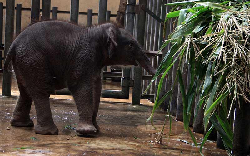 Seekor bayi gajah sumatera (Elephas maximus sumatrensis) berkelamin betina memakan rumput di kandang Taman Safari Prigen, Pasuruan, Jawa Timur, Rabu (12/8/2020). Bayi gajah tersebut lahir dari indukan betina bernama Siska dan pejantan bernama Wahid tersebut menambah koleksi gajah Sumatera di taman itu menjadi 20 ekor. ANTARA FOTO/Umarul Faruq