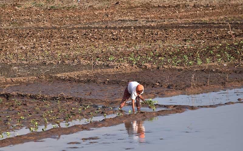 Petani menanam sayur di areal dasar Waduk Dawuhan yang airnya menyusut di Kabupaten Madiun, Jawa Timur, Minggu (20/9/2020). Sebagian petani di sekitar waduk memanfaatkan areal dasar waduk saat musim kemarau untuk menanam sayur jenis umur pendek seperti kacang panjang, kangkung, ubi jalar, mentimun yang saat umur 40 hari sudah mulai bisa dipetik hasilnya, sehingga pada saat musim penghujan tiba sudah selesai panen. ANTARA FOTO/Siswowidodo