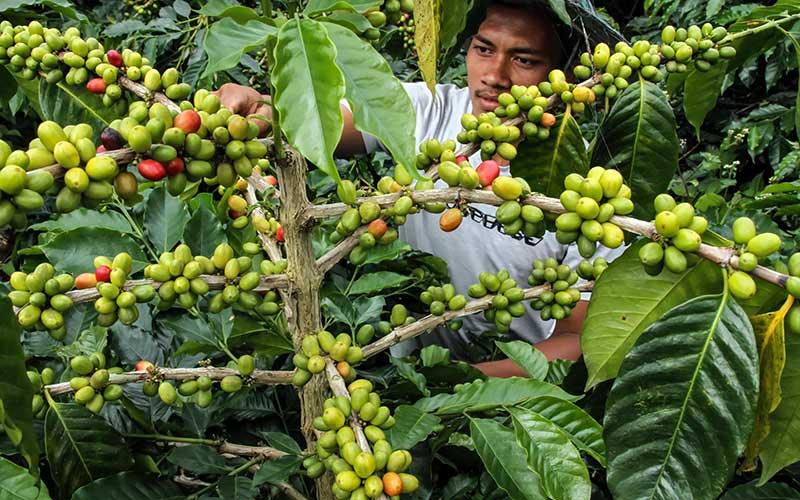 Petani merawat buah kopi jelang masa panen di perkebunan kopi Desa Jabal Antara, Aceh Utara, Aceh, Minggu (20/9/2020). Data Badan Pusat Statistik (BPS) menunjukkan total nilai ekspor biji kopi dan kopi olahan Indonesia sepanjang Januari-Mei 2020 turun 12,2 persen dibandingkan periode yang sama tahun lalu terdampak pandemi Covid-19. ANTARA FOTO/Rahmad