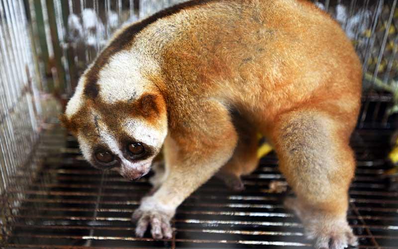 Seekor Kukang Jawa (Nycticebus javanicus) berada di dalam kandang usai diamankan petugas Balai Konservasi Sumber Daya Alam (BKSDA) Banten di Serang, Banten, Senin (21/9/2020). Hewan dilindungi tersebut diamankan petugas dari warga untuk direhabilitasi dan dilepasliarkan ke habitat aslinya. ANTARA FOTO/Asep Fathulrahman