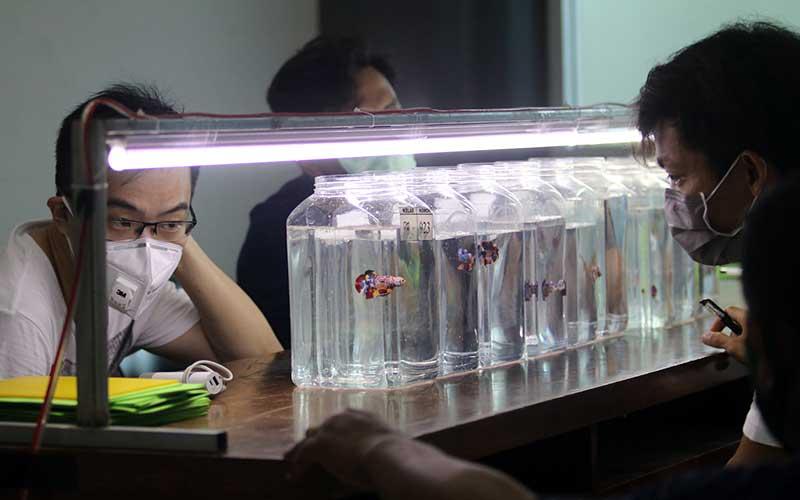 Sejumlah juri mengamati ikan cupang saat kontes di Kediri, Jawa Timur, Sabtu (26/9/2020). Kontes tingkat nasional yang digelar untuk meningkatkan nilai ekonomis ikan cupang tersebut menampilkan sedikitnya 1.200 ekor ikan cupang berbagai jenis yang berlaga di 58 kelas. ANTARA FOTO/Prasetia Fauzani
