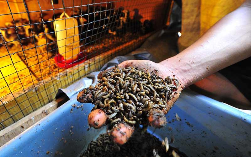 Pekerja menunjukkan hasil panen ulat maggot sebelum diolah menjadi tambahan pakan di tempat peternakan ayam kampung organik Rawa Sari, Jambi, Senin (19/10/2020). Budi daya ulat maggot dengan memanfaatkan sampah sayur dan buah untuk tambahan pakan tersebut mampu mengurangi pengeluaran rutin biaya pakan hingga 70 persen atau dari sekitar Rp1,6 juta per seratus ekor per bulan menjadi kurang dari Rp500 ribu per seratus ekor per bulan. ANTARA FOTO/Wahdi Septiawan