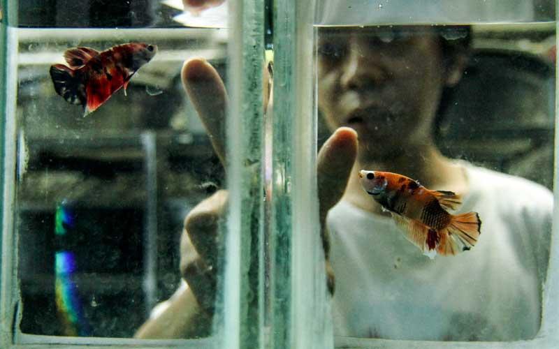 Budidaya Ikan Cupang Kembali Tren Saat Pandemi Covid 19 Bisnis Com