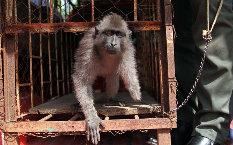 Petugas BKSDA menunjukan primata endemik sulawesi atau Kera Hitam (Macaca Maura) tanpa tangan kiri serahan warga keluar dari kandang,  di Kantor BKSDA Seksi Konservasi II Sulawesi Tenggara, Kendari, Sulawesi Tenggara, Selasa (20/10/2020). Kera Hitam Sulawesi termasuk satwa yang dilindungi itu diserahkan warga ke BKSDA setelah setahun merawat luka pada tangan kiri akibat terjerat tali yang menyebabkan tangan kera putus. ANTARA FOTO/Jojon