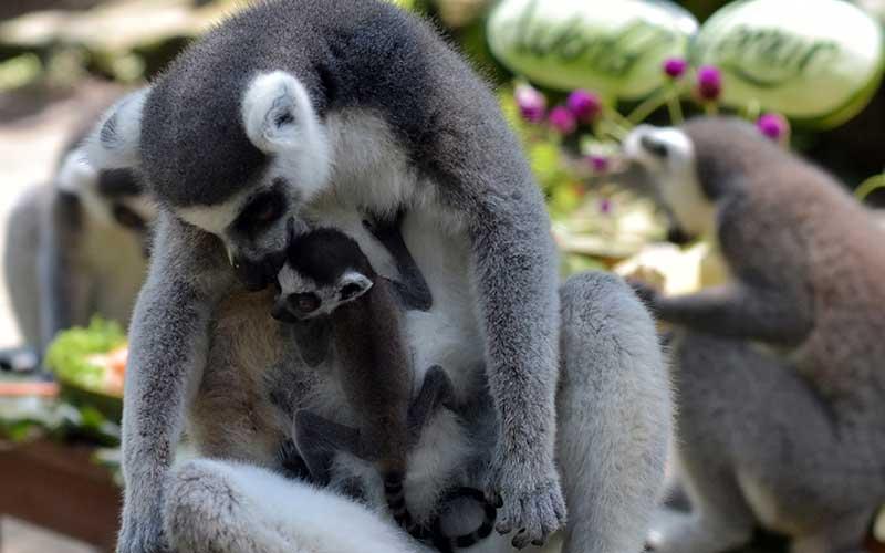 Seekor Lemur (Lemur catta) mengasuh anaknya yang baru berumur tiga hari dalam perayaan Hari Lemur Sedunia di Bali Zoo, Gianyar, Kamis (29/10/2020). Kebun binatang tersebut dalam rentang waktu tiga tahun berhasil mengembangbiakkan delapan ekor dari lima induk Lemur yaitu empat betina dan satu jantan untuk konservasi satwa endemik Madagaskar itu sekaligus sebagai daya tarik pariwisata. ANTARA FOTO/Nyoman Hendra Wibowo